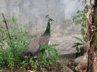 Peacock at Kaliandra Eco Resort and Farm, Pandaan
