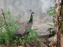 Peacock at Kaliandra Eco Resort and Farm, Pandaan