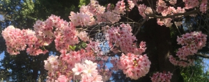 Hanami Los Angeles offers cherry blossoms in los angeles